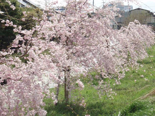 4年目のしだれ桜.jpg