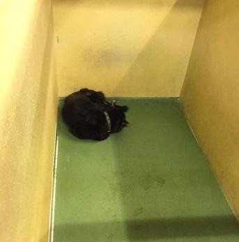 5月からまいごの黒犬.jpg