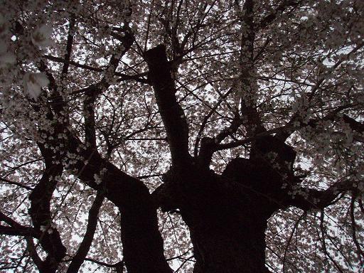 しだれ桜の中.jpg