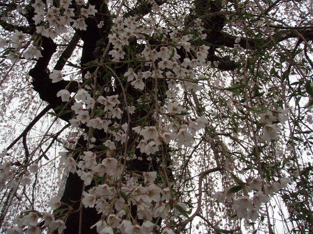 しだれ桜の中2.jpg
