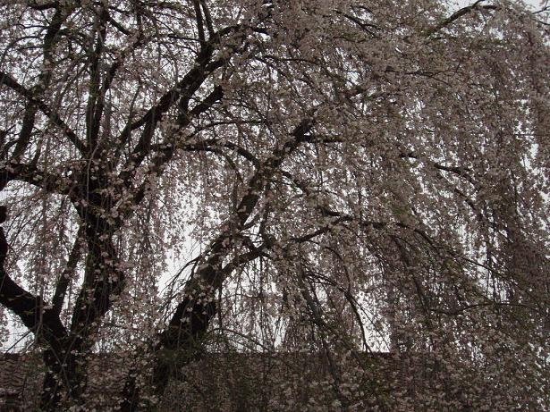 しだれ桜全体.jpg