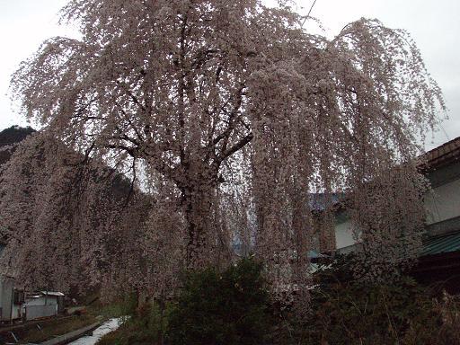 しだれ桜満開2.jpg