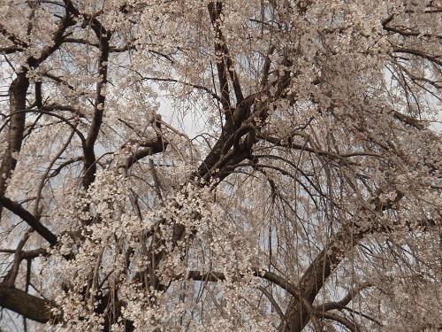 しだれ桜7.jpg