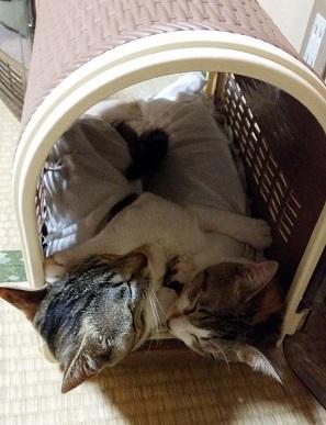 ひーちゃんとみーちゃんキャリーバッグで寝る.jpg