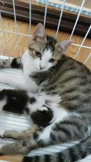サバシロ・母猫・あさり.jpg