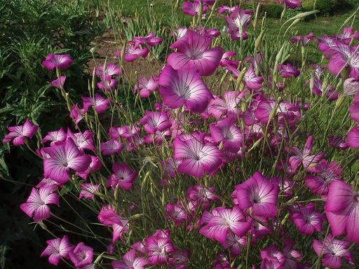 ピンクの花.jpg
