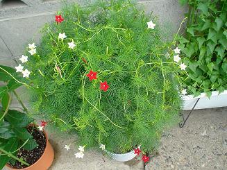 ルコウソウの鉢植え.jpg