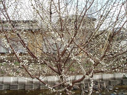 ロトウ桜.jpg
