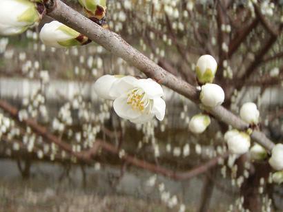 ロトウ桜2.jpg