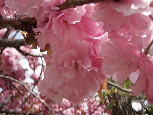 八重桜3.jpg