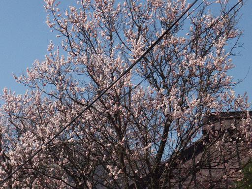小彼岸桜.jpg