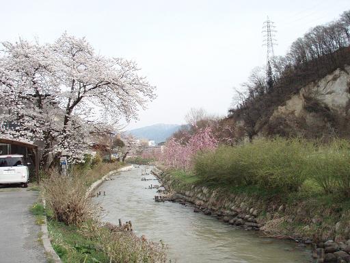 川の桜.jpg
