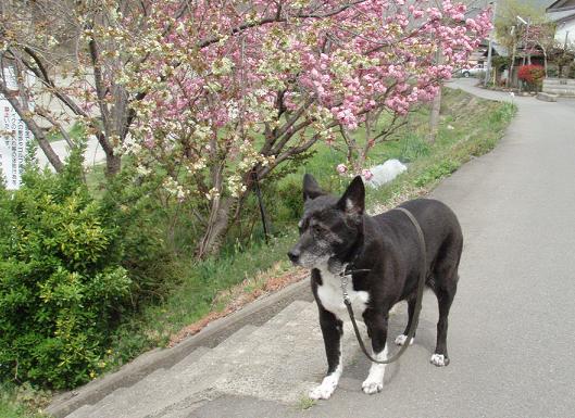 桜とミル.jpg