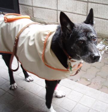 13歳のミルお誕生日の散歩.jpg