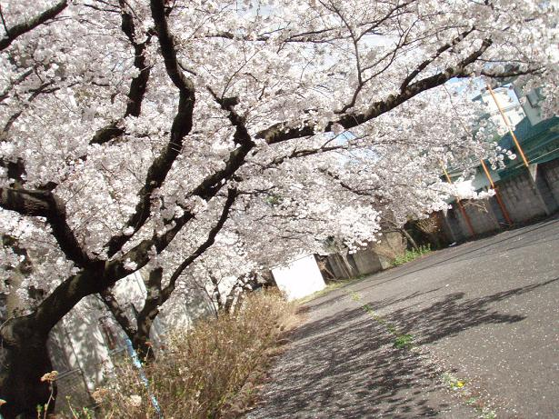 さよなら桜.jpg