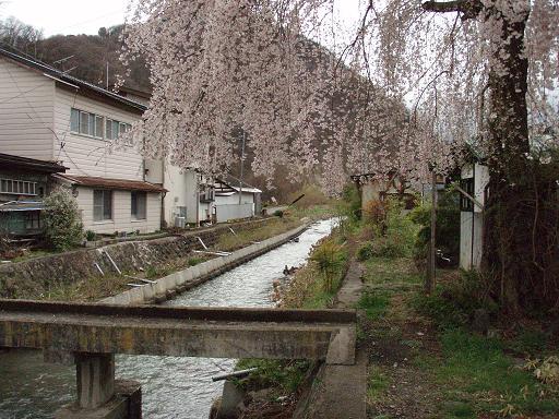 しだれ桜の場所.jpg