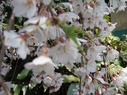 しだれ桜11.jpg
