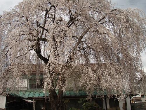 しだれ桜6.jpg