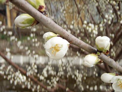 ロトウ桜3.jpg