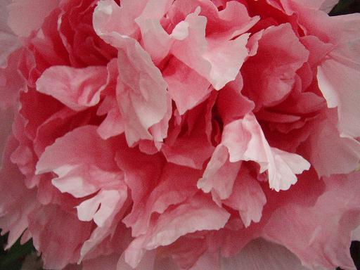 大輪の花.jpg