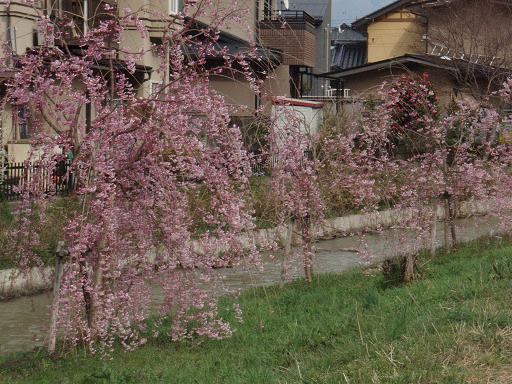 川のしだれ桜.jpg